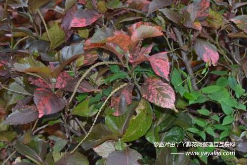 红桑的病虫害防治