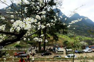 融安500亩鲜花争艳盛开 芬芳四溢游人醉花间(图)