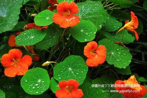 旱金莲的形态特征