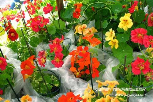 旱金莲的栽培技术