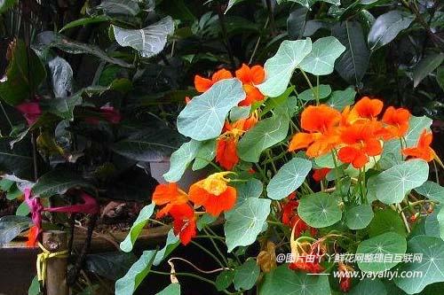 旱金莲的分布区域