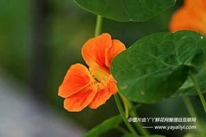 旱金莲的花语