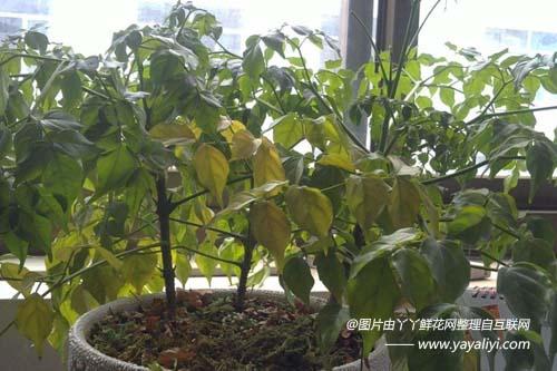 富贵树发黄掉叶的七大原因?