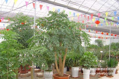 富贵树的繁殖方式