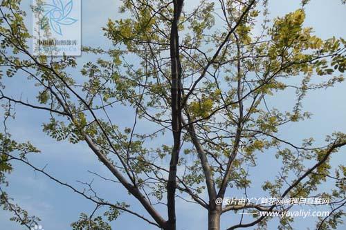富贵树的分布区域