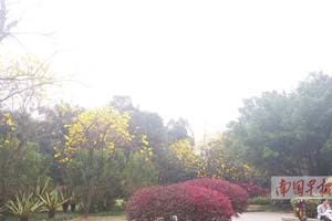 南宁多个公园黄花风铃木盛开 满目金黄等你来(图)