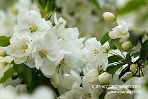 海棠花的形态特征