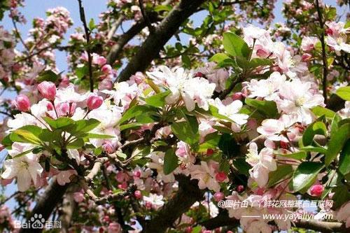 海棠花栽培技术