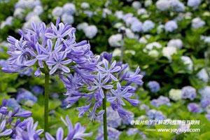 百子莲的花语及象征意义
