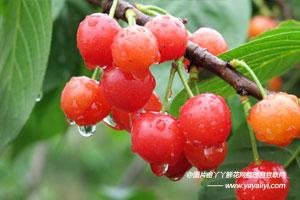 樱桃的形态特征